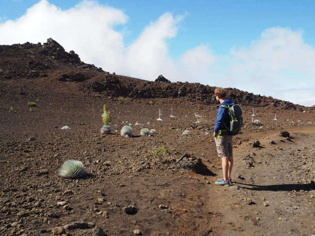 Das seltene Silberschwert im Haleakala Krater
