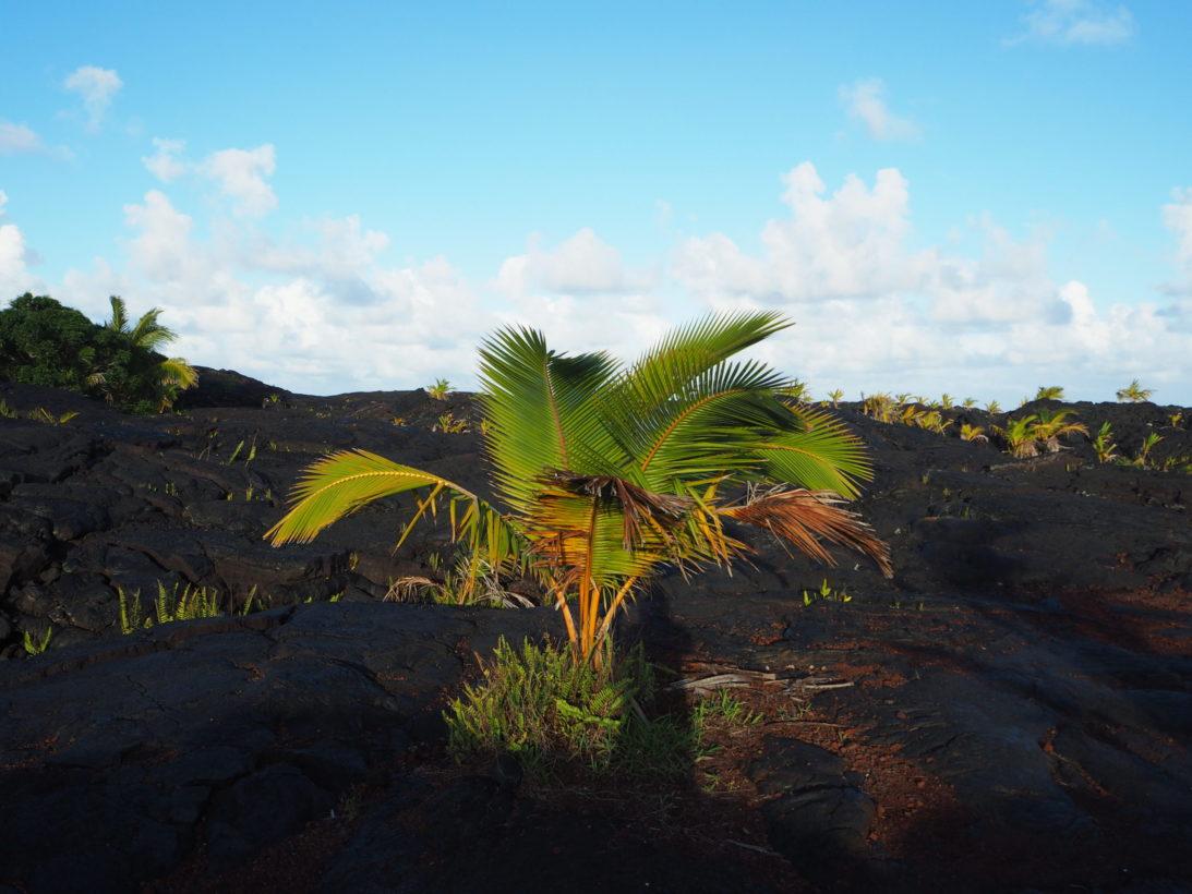 Palme im Kaimu Beach Park